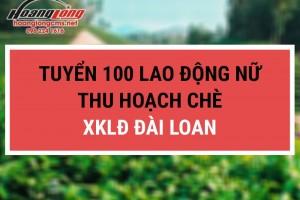 Tuyển 100 lao động nữ hái chè xuất khẩu lao động Đài Loan